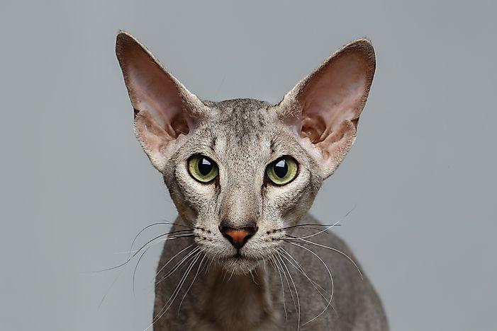 A Peterbald cat.