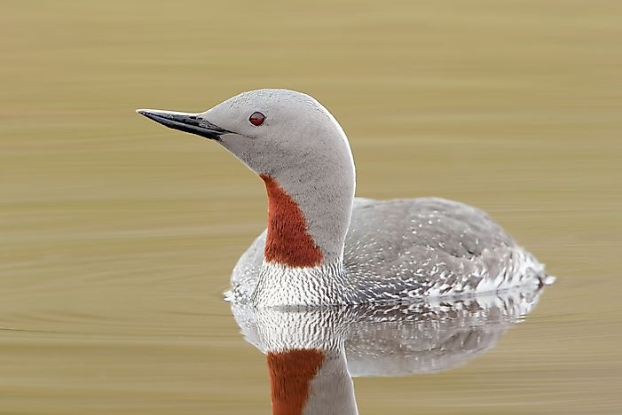 #5 Red-throated Loon