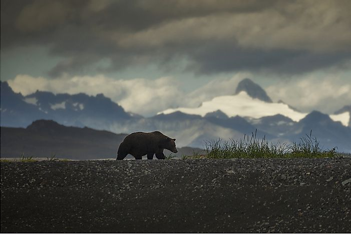 Where Do Grizzly Bears Live?