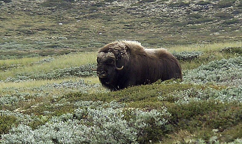 What Animals Live In The Tundra? - WorldAtlas.com