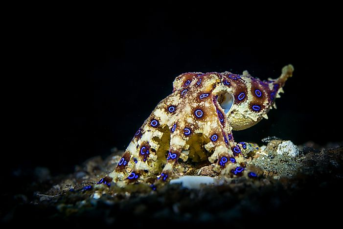 The blue-ringed octopus.
