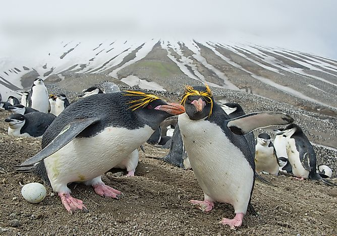 A pack of macaroni penguins.