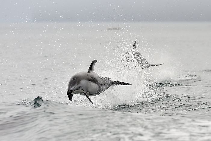 Pacific white sided dolphin showing their playful side in the Pacific Ocean near Canada.