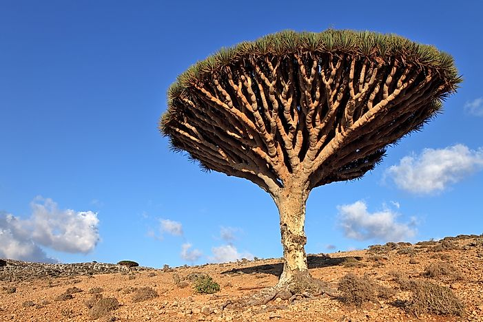 #5 Dragon's blood tree
