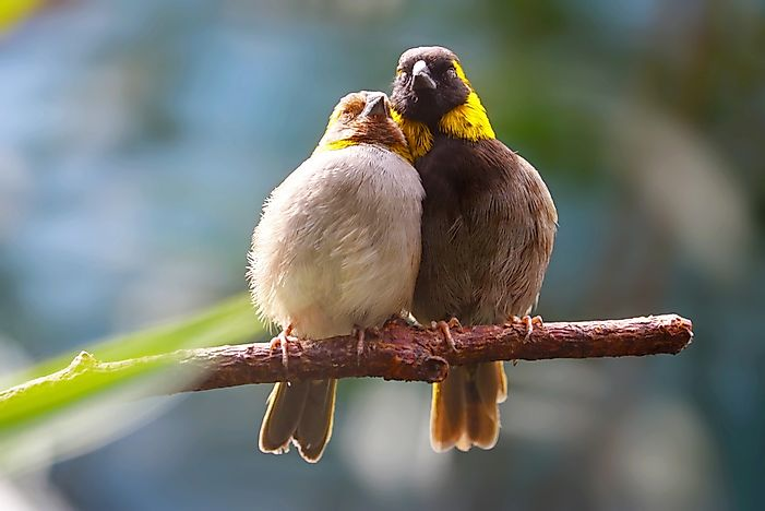 #7 Cuban Finch