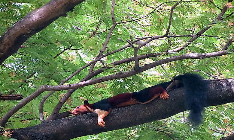 #18 Malabar Giant Squirrel -
