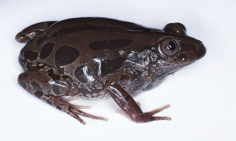 Amphibians Of The Democratic Republic Of The Congo