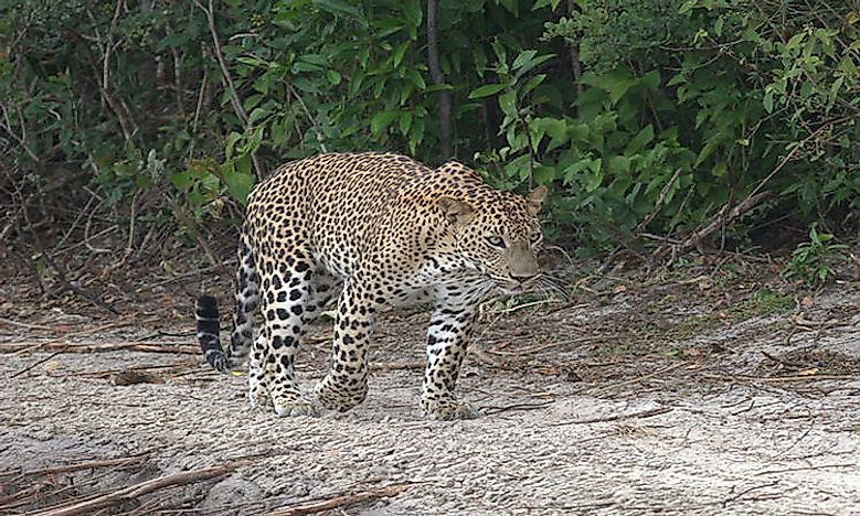 How Many Types Of Leopards Live In The World Today