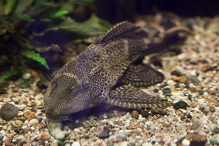 #1 Sailfin Catfish