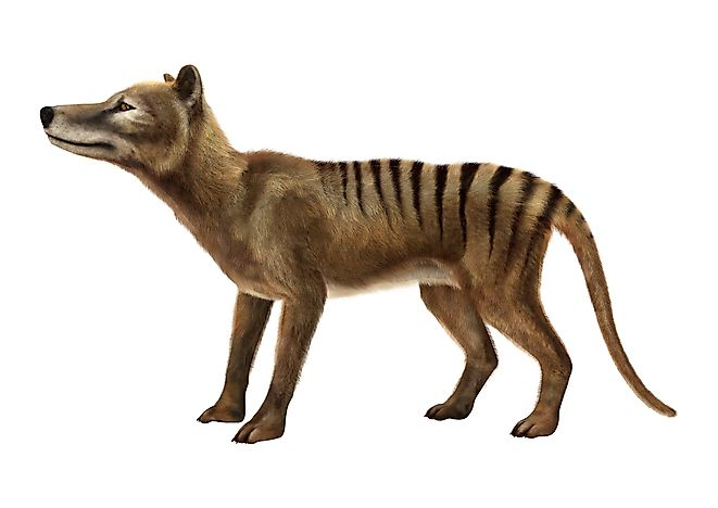 A 3D rendering of what a thylacine looked like.