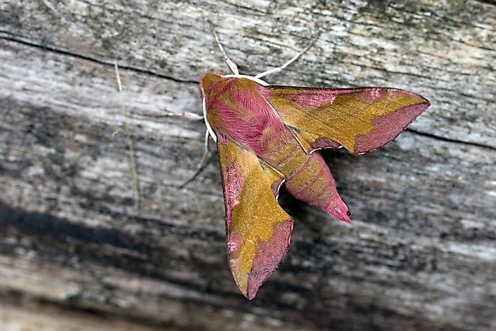 #14 Small Elephant Hawkmoth
