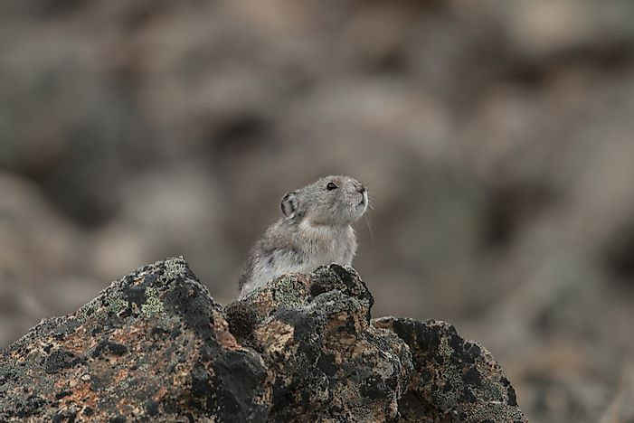 Collared Pika Facts - Animals of North America