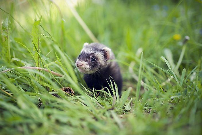 Where Do Ferrets Live In The Wild? - WorldAtlas.com | 729 x 425 jpeg 46kB