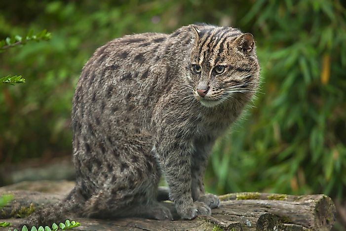 A fishing cat.