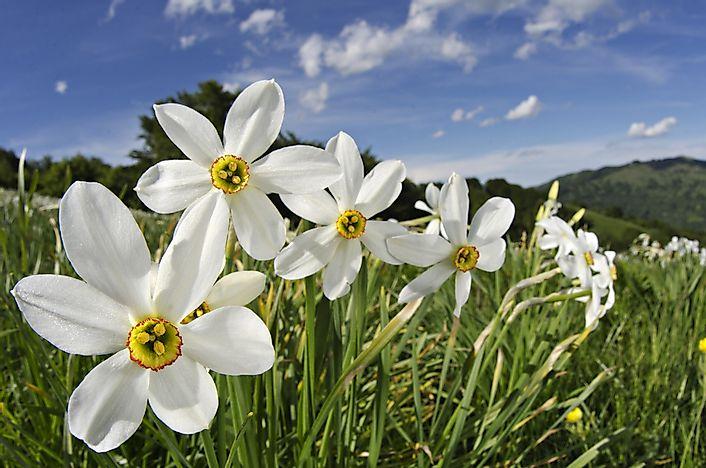 10 poisonous plants found in the united states worldatlas narcissus poeticus mightylinksfo