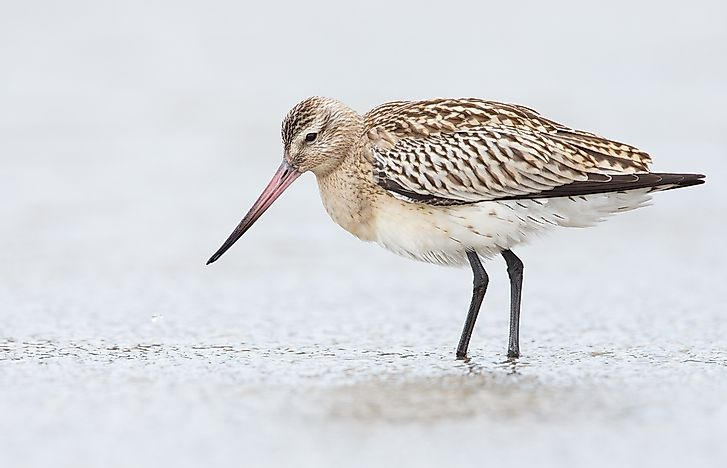 The black-tailed godwit, limosa limosa.