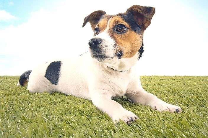 A jack russel terrier.