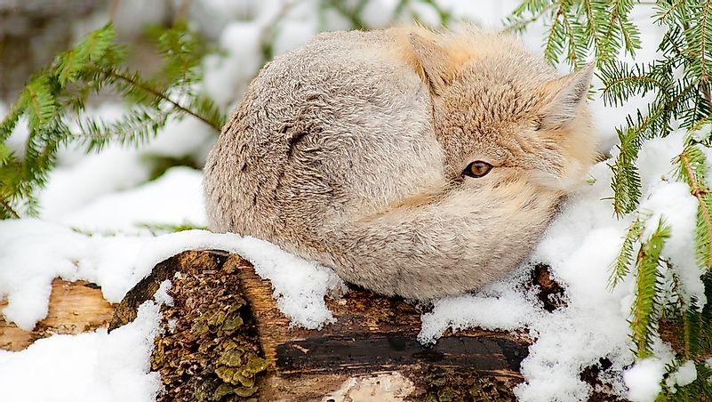 The Twelve Species Of True Foxes - WorldAtlas com