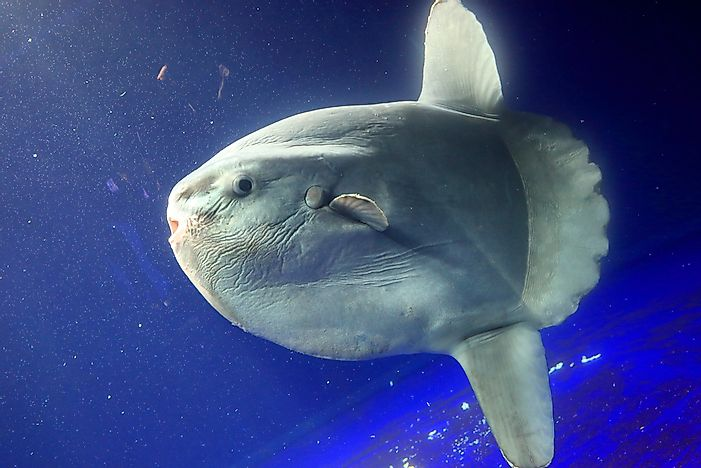 Ocean Sunfish Facts  - Animals of the Ocean