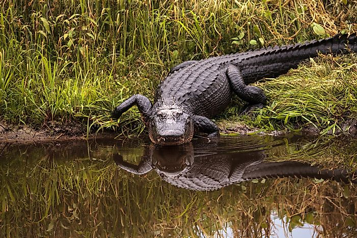 How Many Types Of Alligators Live In The World Today?