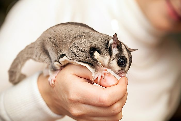 Sugar Glider Facts - Animals of Oceania