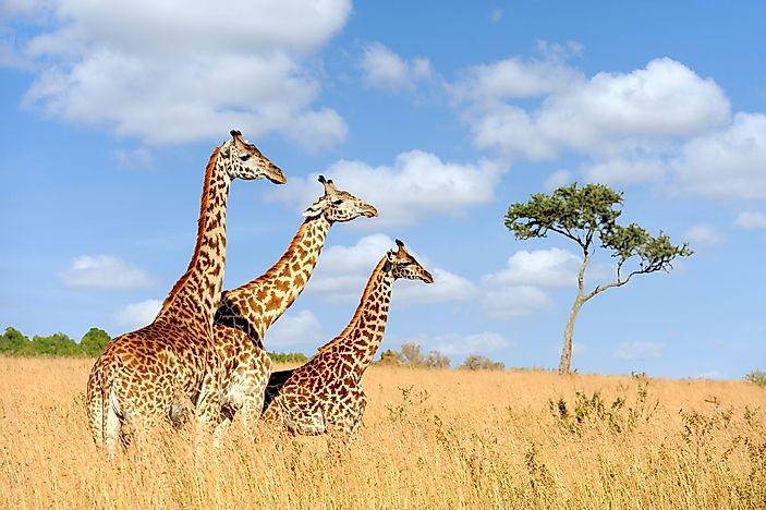 what animals live in africa worldatlas com