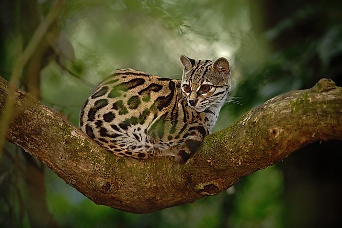 An ocelot in Costa Rica.