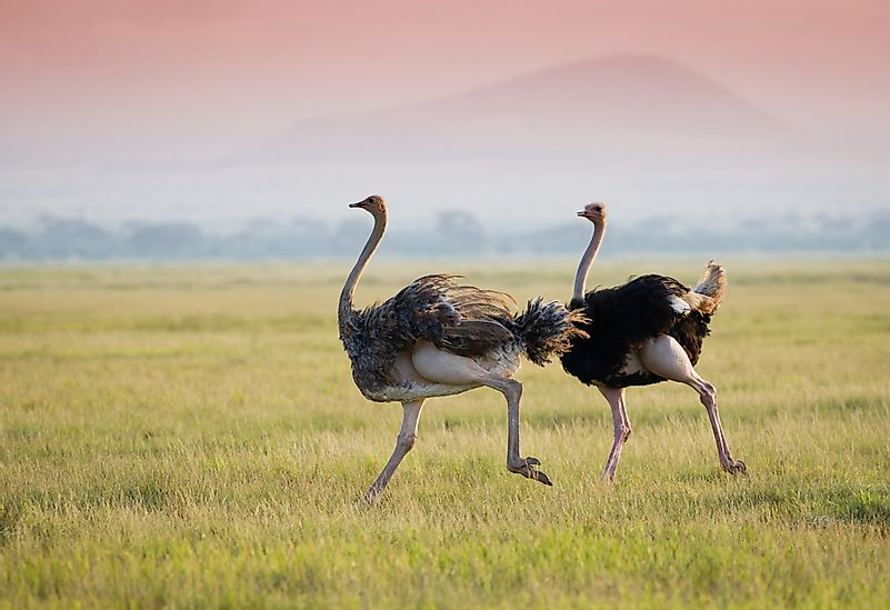 Ostriches running on the African savannah.