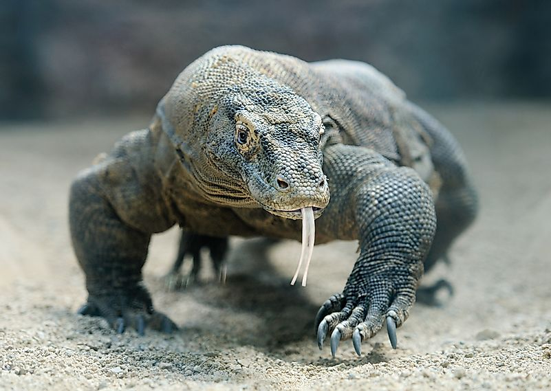 #6 Komodo dragon