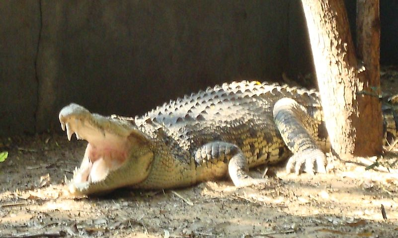 #6 Mugger Crocodile -