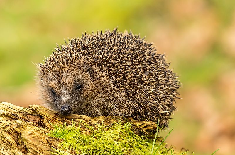 #5 European hedgehogs