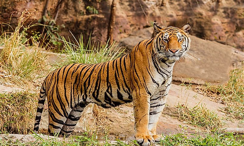 #1 Royal Bengal Tiger -
