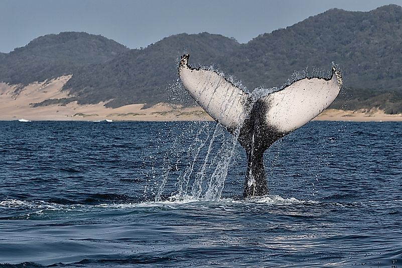 A humpback whale in South Africa.