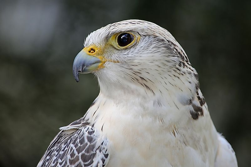 The gyrfalcon, the world's largest falcon species.