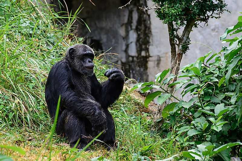 Odzala National Park provides a vital habitat for the western gorilla, pictured here.