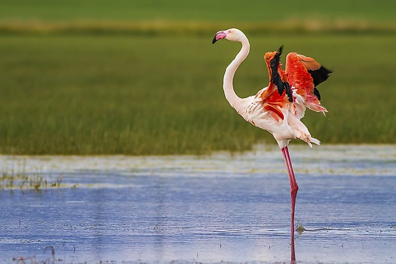 The greater flamingo is the world's largest.