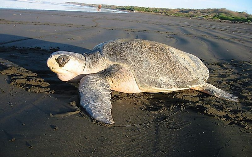 #4 Olive Ridley Turtle