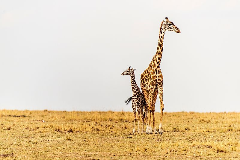 #3 Do Giraffes Give Birth Standing Up?