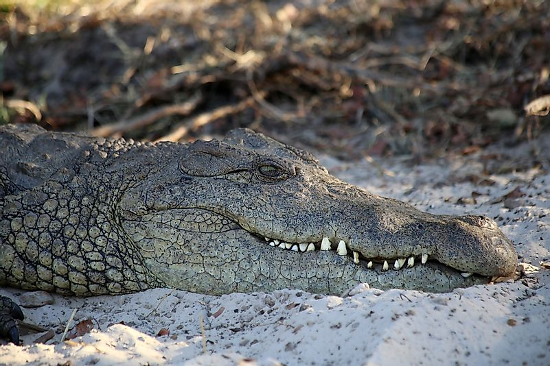#7 Nile Crocodile