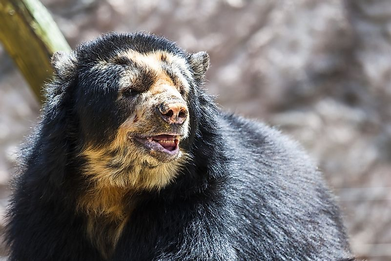 A spectacled bear, or Andean bear.
