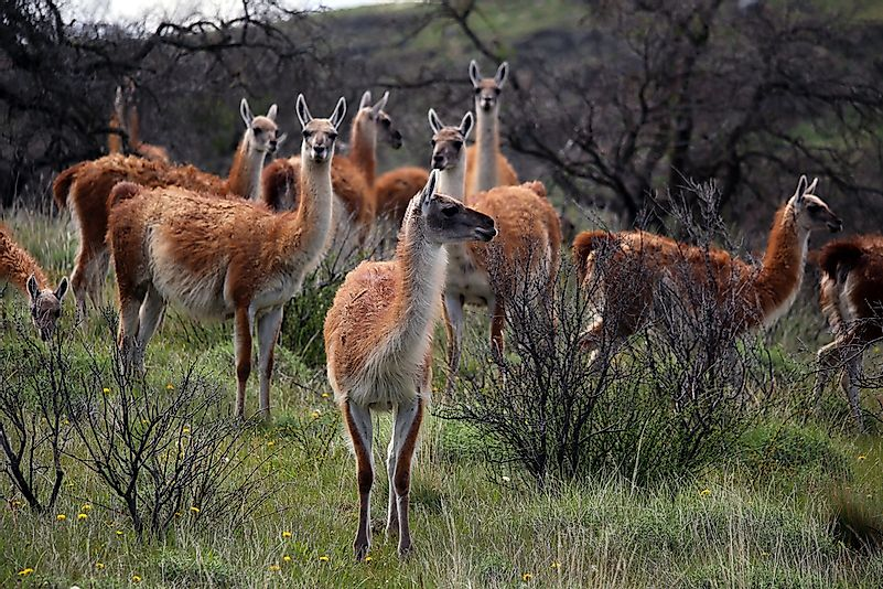 A group of guanacos in Patagonia.