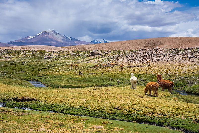 A vicuña grazing with alpacas in Chile.
