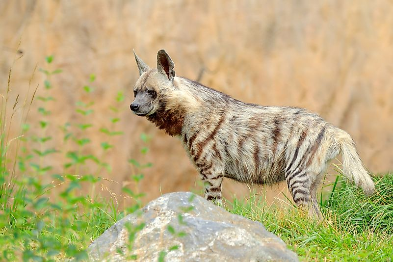 #3 Striped Hyena (Hyaena hyaena)