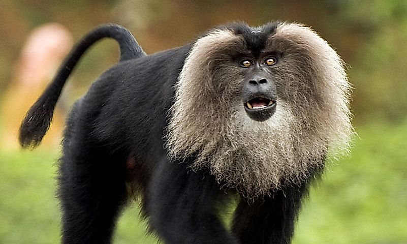 #10 Lion-Tailed Macaque -