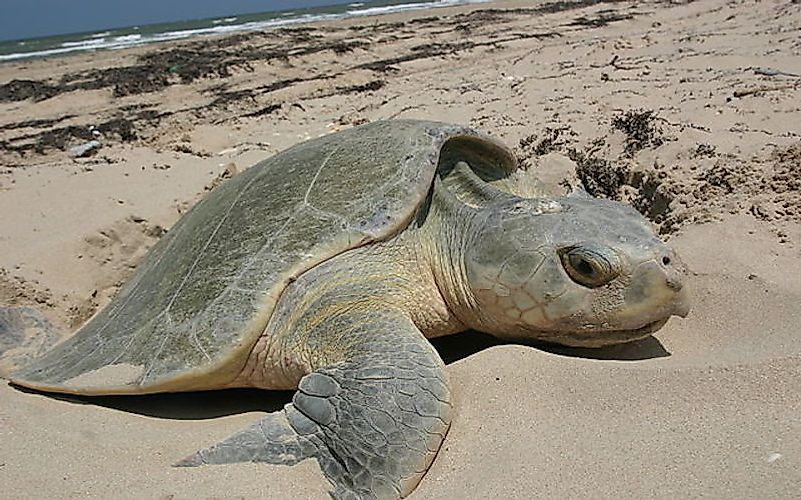 #2 Kemp's Ridley Turtle