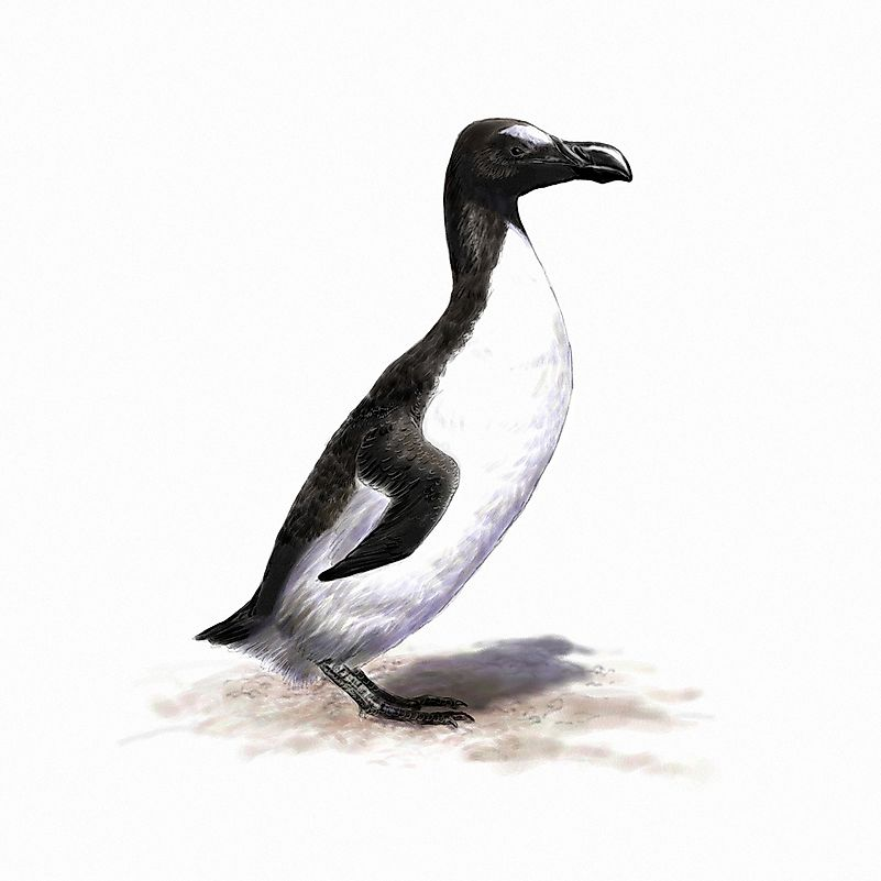 An illustration of the great auk.