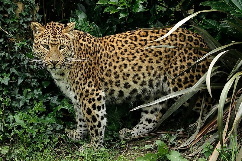 #6 North China Leopard