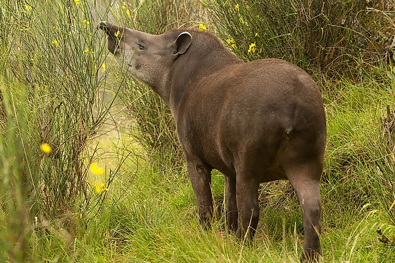 A mountain tapir in Ecuador.