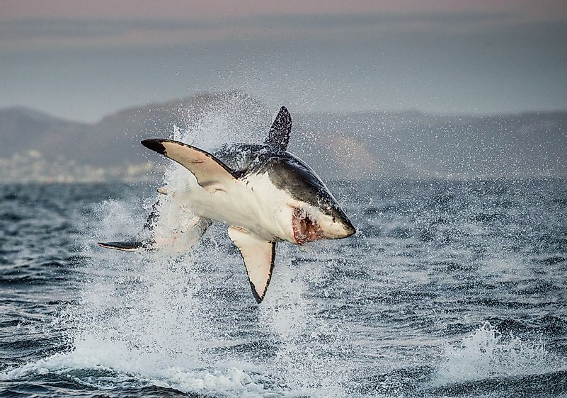 A great white shark off the coast of South Africa.