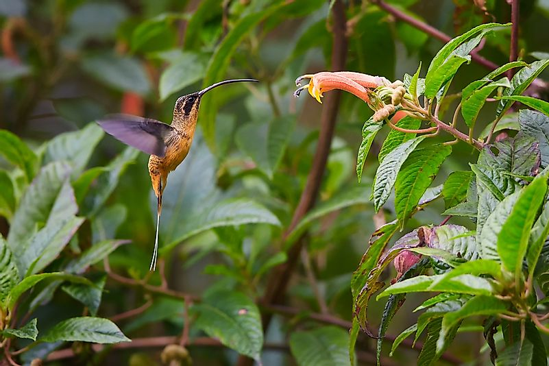 A hummingbird in the Colombian rainforest.